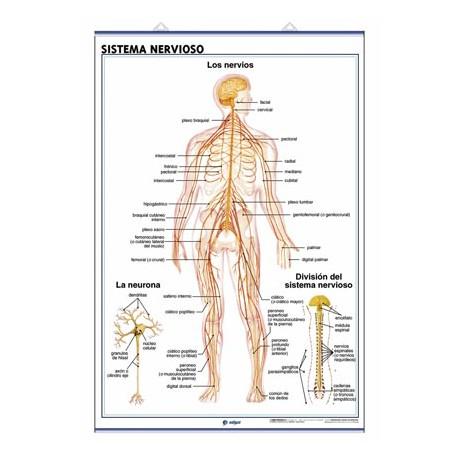 Láminas Mapas Sistema Nervioso El Encéfalo